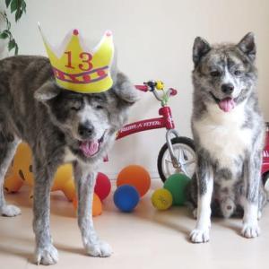 赤虎毛の秋田犬「飛龍」、13歳の誕生日を迎えました~♪