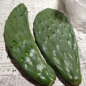 サボテンピクルス作り ~ その1 ~