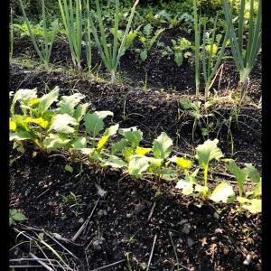 根菜の成長