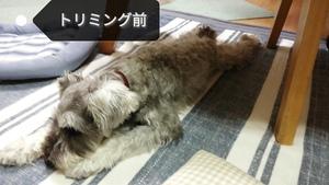 7/21 愛犬そらのトリミング