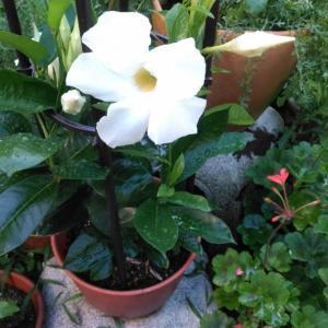 サンパラソルジャイアントが咲きました