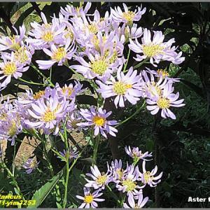 image3253 紫苑花盛り