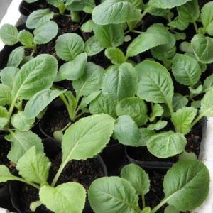 秋冬野菜の苗作り