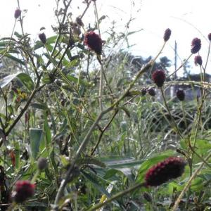 畑の周りの草共は秋模様