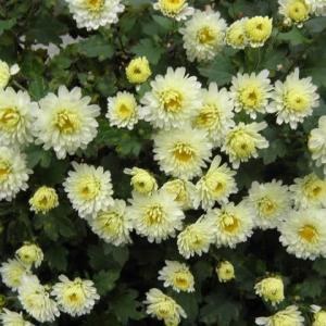 立冬になったら 寒菊や冬の蘭が咲き出しました