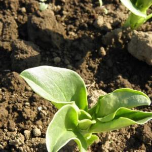蚕豆と豌豆の芽が出て 冬迎えです
