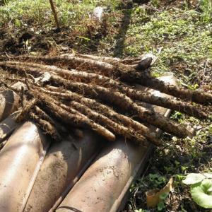 長芋を掘りました