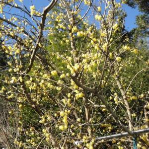 満開の蝋梅を初めて見れました