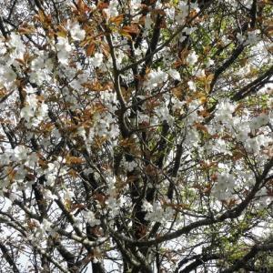 山桜が咲き、アケビも満開です