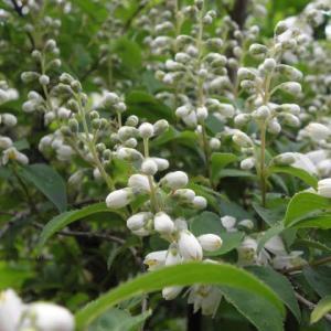 卯の花や蜜柑の花が咲いてます
