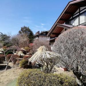 田舎の福寿草祭り