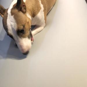 人をダメにするソファは犬もダメにするか?