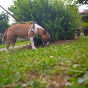 雨が降る前にお散歩 Heidi took a walk before it rained!