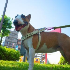 朝のお散歩も暑い The morning walk is also hot!
