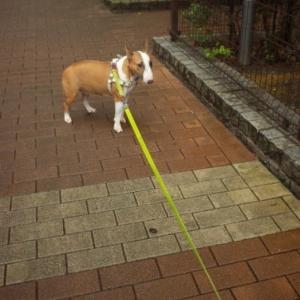 お散歩でたのに・・・!Heidi went for a walk comfortably, but it wasn't raining ...!