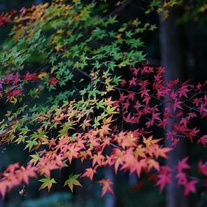 土居川のモミジと釜乃淵の水の色