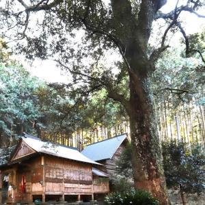 佐川町賀茂神社のイチイガシ