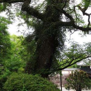 高知城のセンダンの巨木は 天守と ほぼ同年齢
