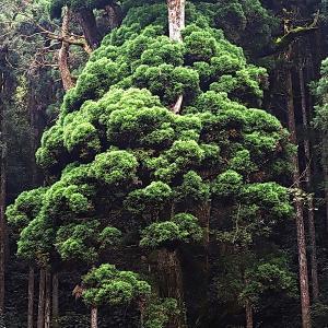 大豊町熊野十二社神社の牡丹杉