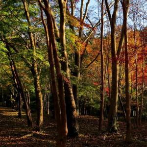 甫喜ケ峰森林公園のモミジの紅葉は始まりか終わりか?