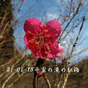 平家の滝に紅梅が咲いた!