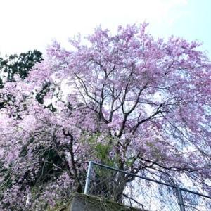 見事な神山町の桜
