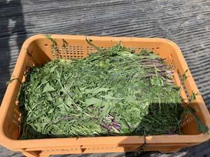 神山町の畑 きゅうりとトマトの棚作り
