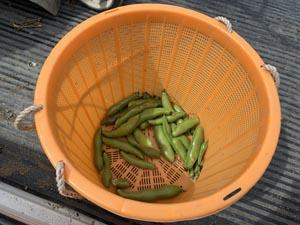 神山町の畑で ニンニクの収穫