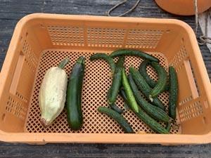 きゅうり トマトの棚作り 神山町の畑