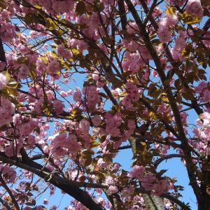 八重桜がきれいでした。