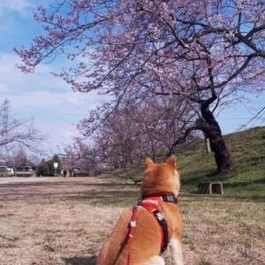 木曽川堤の桜が見頃です