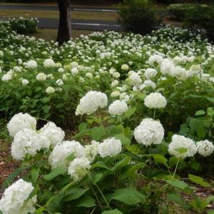 昭和記念公園再開、梅雨時の花