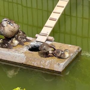 昭島市民会館の池、子鴨の成長ぶり