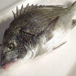 黒鯛(クロダイ)