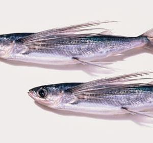 飛魚(トビウオ)