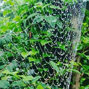 庭も畑もクモの巣だらけ。