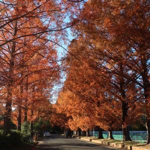 高師緑地のメタセコイア並木