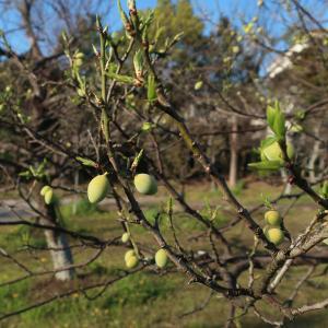 向山緑地公園の桜