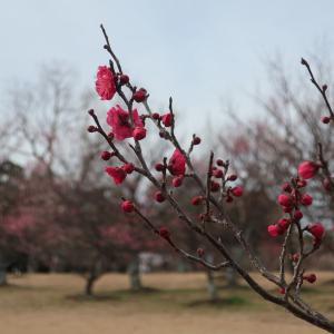 向山公園の梅