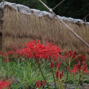 四ツ谷千枚田の秋