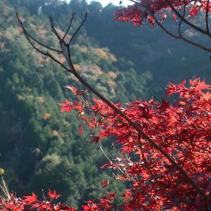 豊川宮路山ハイキングと大和の大イチョウ