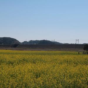 東海道本線沿いの菜の花畑