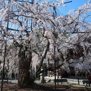 東三河の彼岸桜