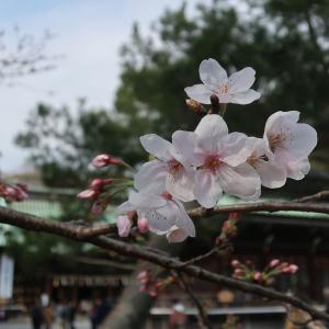 富士浅間大社から沼津、三島大社の桜