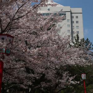 豊橋公園の桜
