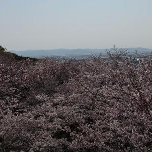 豊川の桜巡り