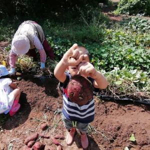 突発性芋掘り