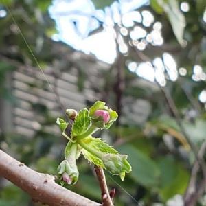 十月桜・花芽が9.07