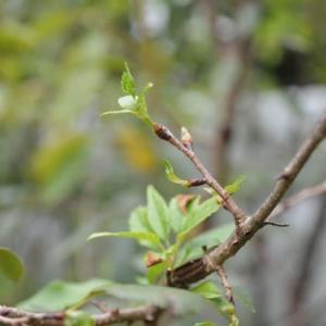 10月桜 台風で散る9.14