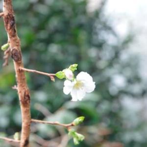 十月桜・開花中9.14